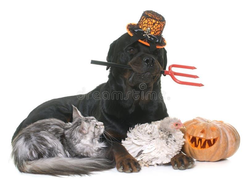 Animal de estimação e abóbora do Dia das Bruxas imagem de stock