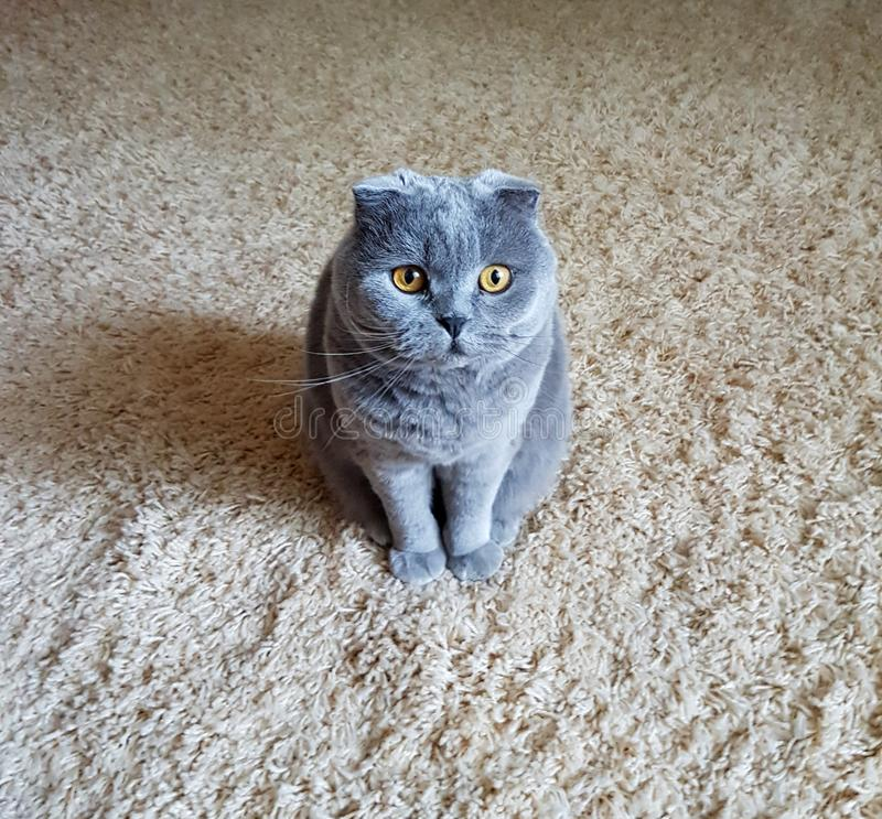 Animal de estimação favorito Gato foto de stock royalty free