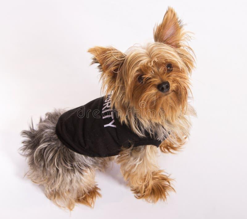 Animal de estimação masculino do cão de Yorkie imagem de stock royalty free