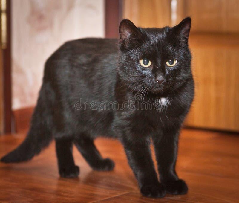 Animal de estimação - um gato bonito, congelado em antecipação a algo incomum imagens de stock royalty free