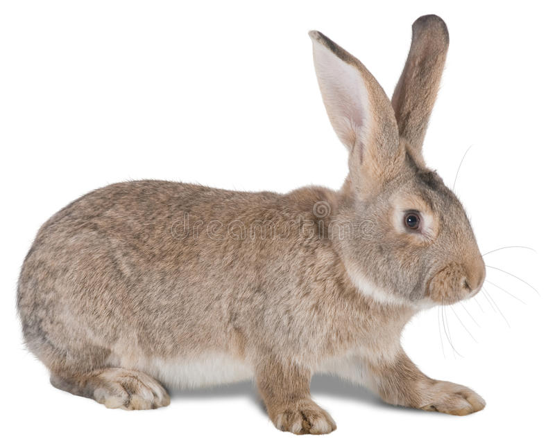 Animal de exploração agrícola do coelho foto de stock royalty free