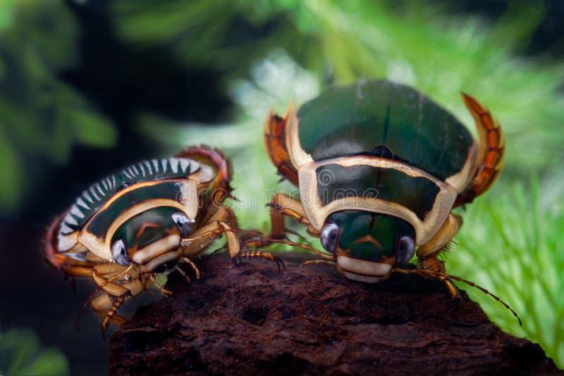 Animal de l'eau d'insecte de natation de coléoptère de plongée images libres de droits