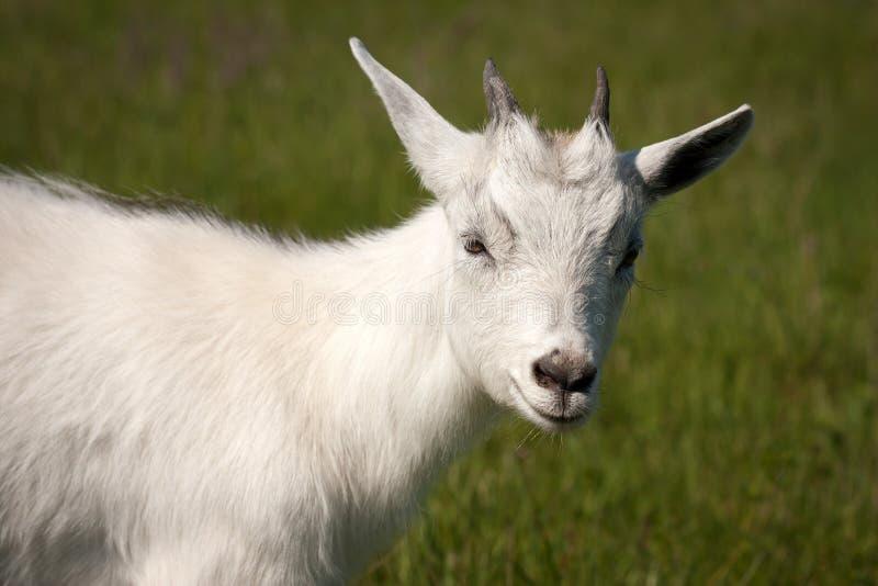 Animal de la cabra imagen de archivo libre de regalías