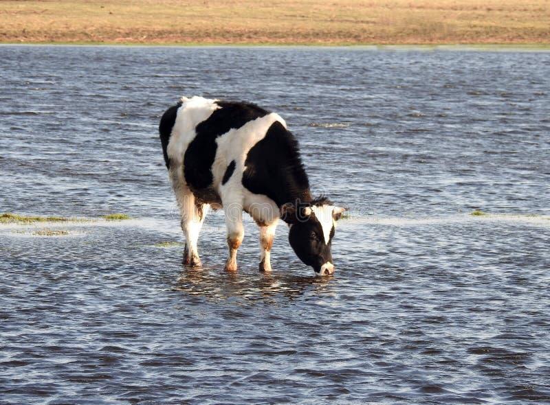 Animal de la vaca en el campo de inundaci?n, Lituania imagenes de archivo