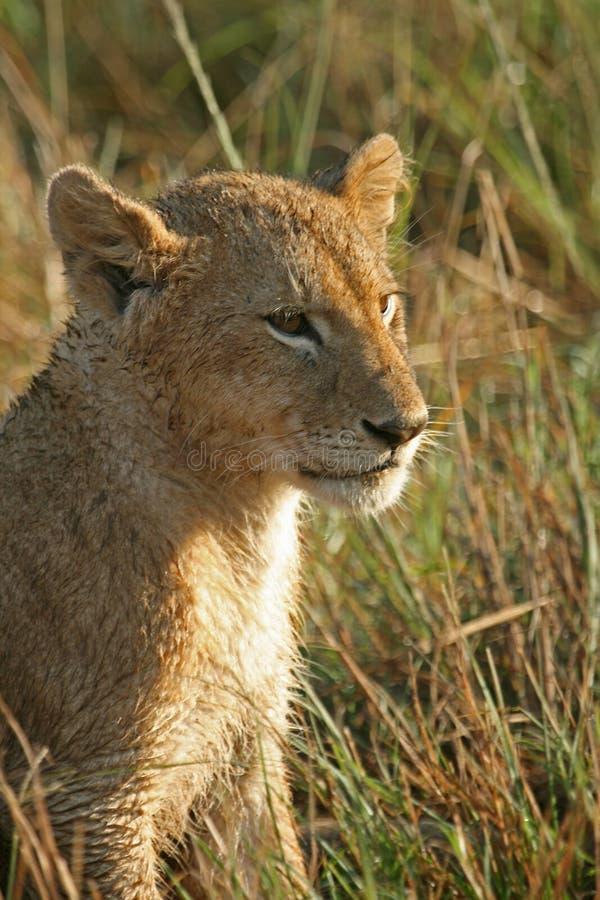 Animal de lion photo stock