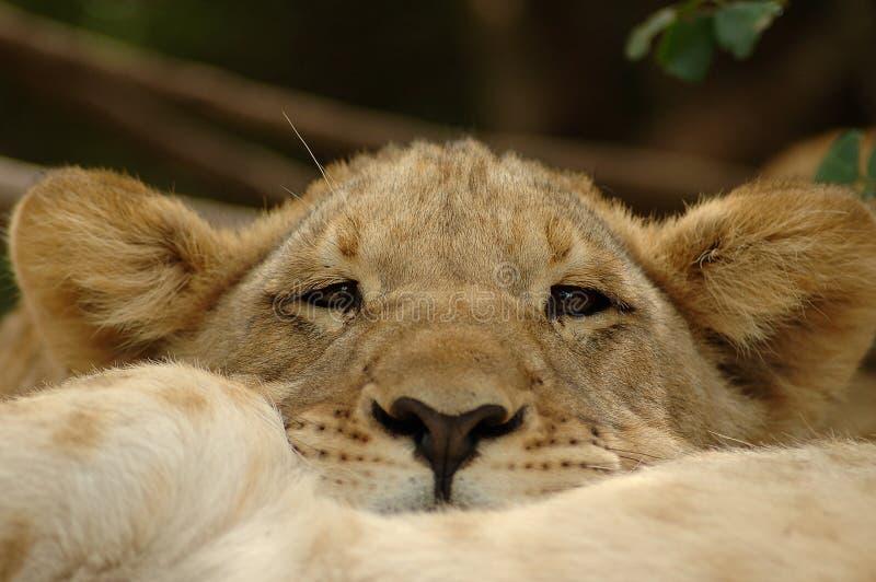 Animal de lion image stock