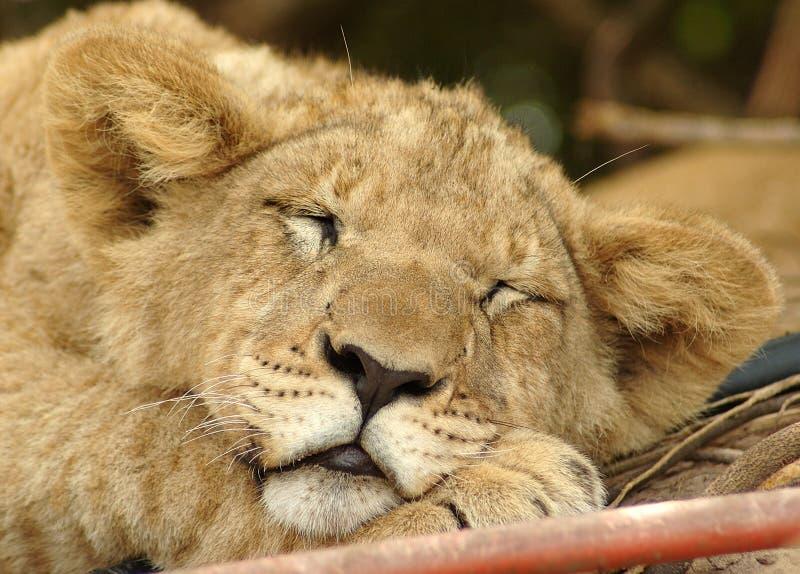 Animal de lion photos libres de droits