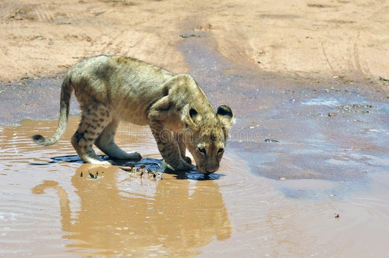 Animal de lion. image libre de droits