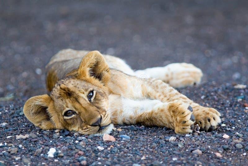 Animal de lion photographie stock libre de droits