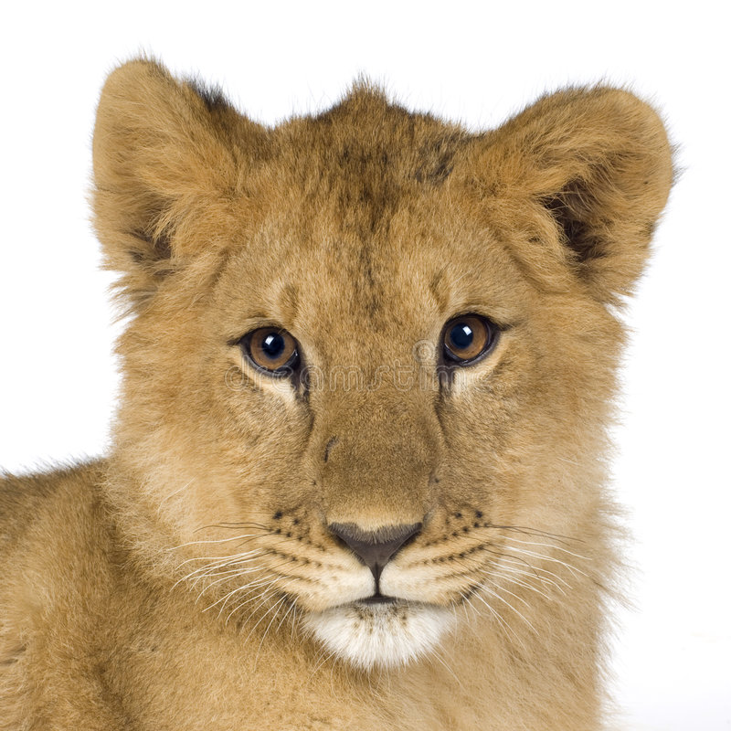 Animal de lion image libre de droits