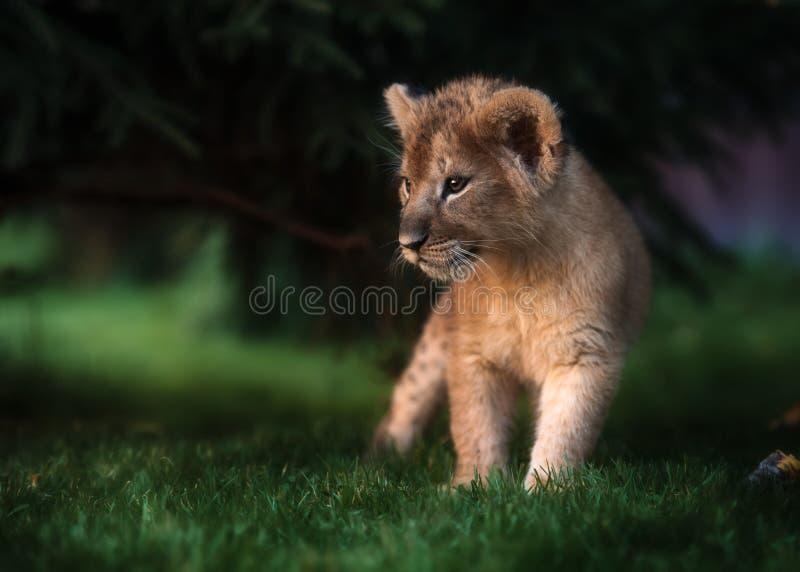 Animal de lion africain, Afrique du Sud image stock