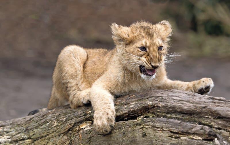 Animal de lion asiatique photos stock