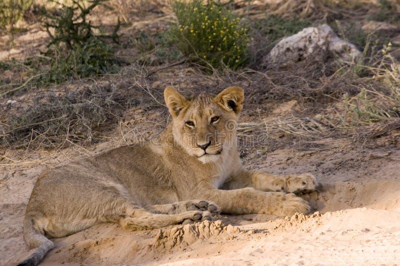 Animal de lion dans Kgalagadi image libre de droits