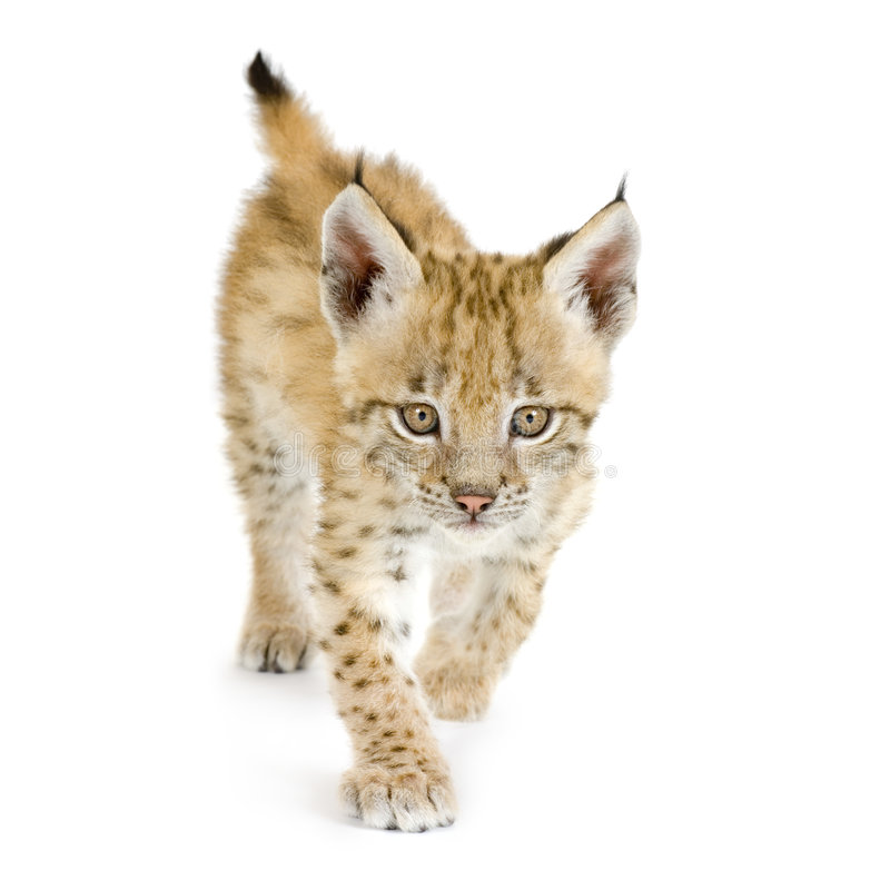 Animal de lynx (2 mounths) image stock