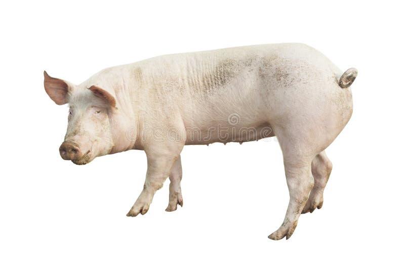 Animal de porc d'isolement photo stock