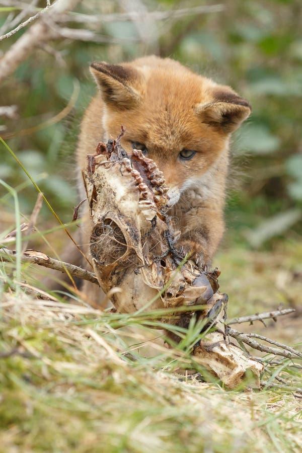 Animal de renard rouge photographie stock libre de droits
