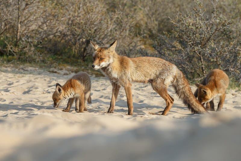 Animal de renard rouge image libre de droits