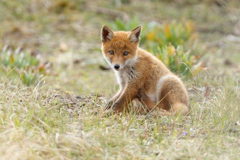 Animal de renard rouge photos stock