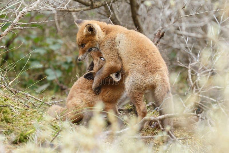 Animal de renard rouge photo libre de droits