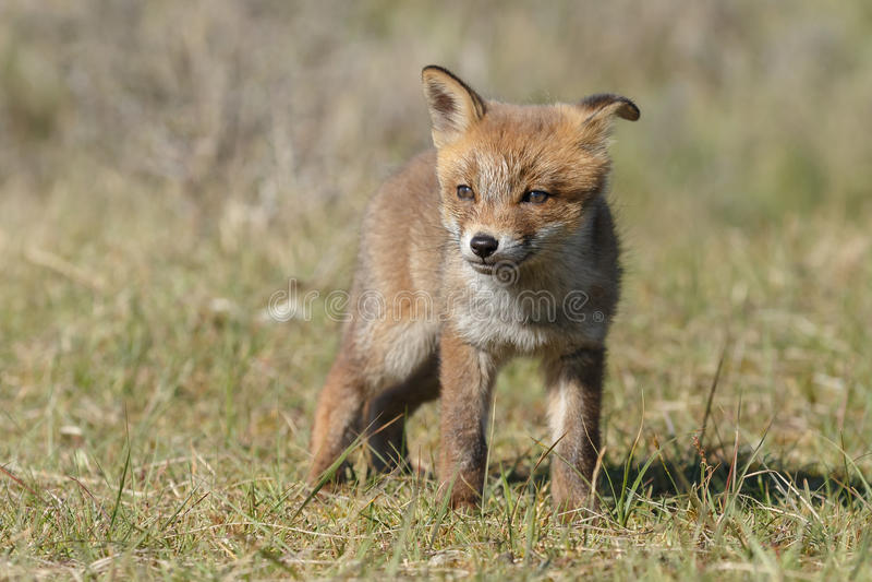 Animal de renard rouge photographie stock