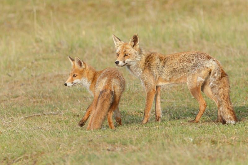 Animal de renard rouge photo stock