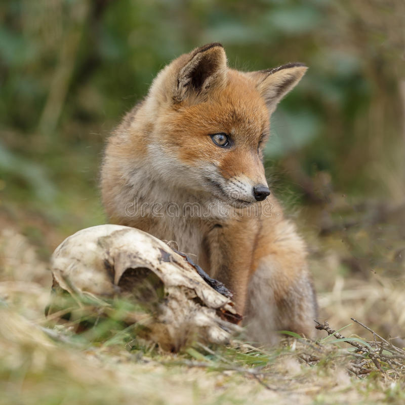 Animal de renard rouge photos libres de droits