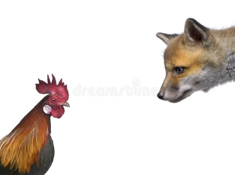 Animal de renard rouge regardant le coq images libres de droits