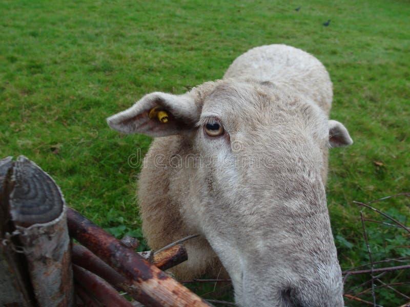 Animal de Scheep imagen de archivo libre de regalías
