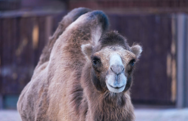animal de sourire de chameau photos libres de droits