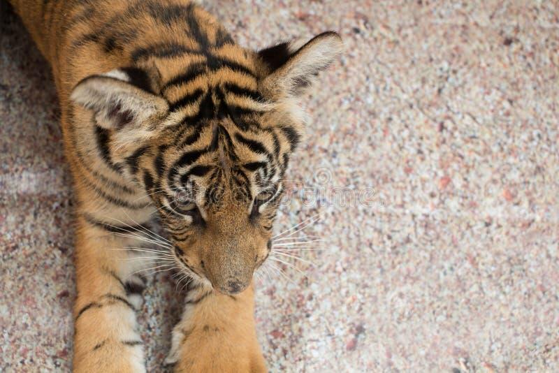 Animal de tigre images stock