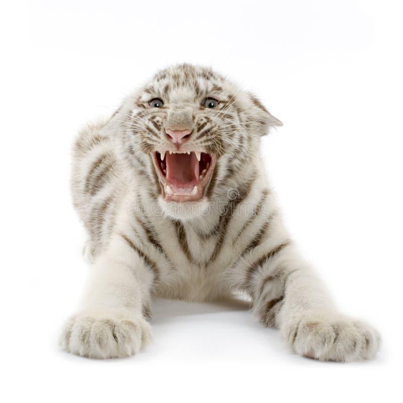 Animal de tigre blanc (3 mois) image libre de droits
