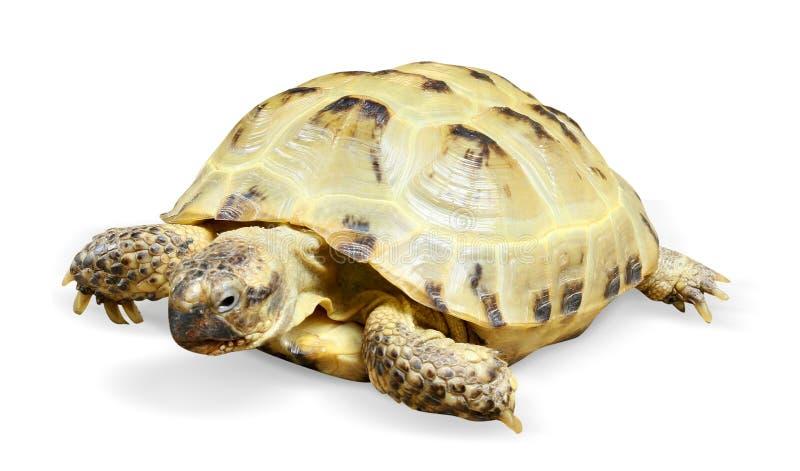 Animal de tortue de reptile images stock