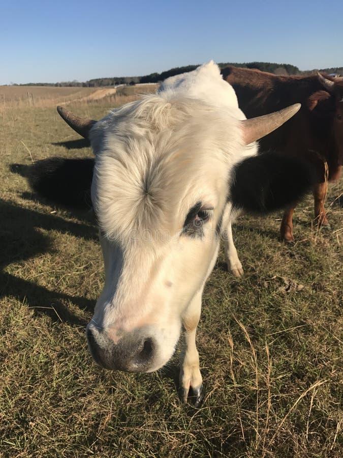 Animal de um ano Bull de Pineywoods foto de stock royalty free