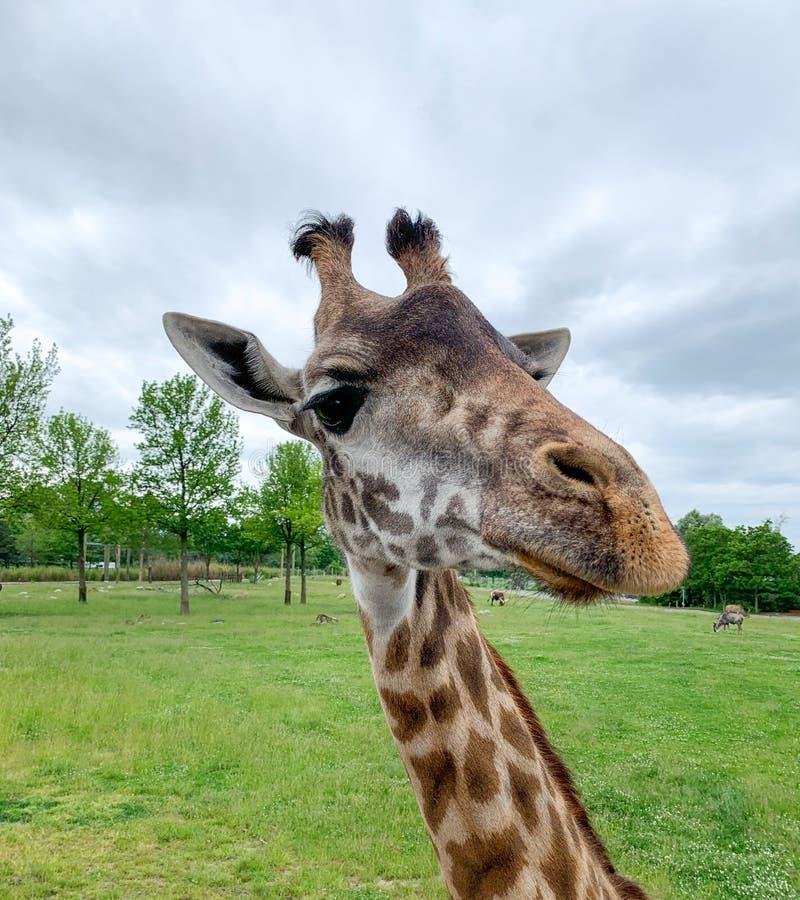 Animal de zoo de plan rapproché de tête d'Iraffe Portrait en gros plan d'une tête et d'un visage de girafe avec le long cou dans  image stock