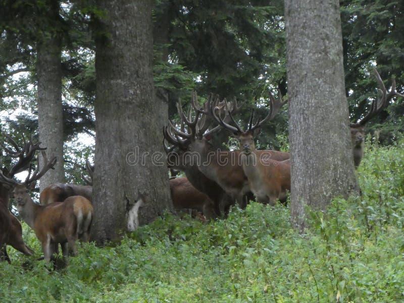 Big deers in the forest with big antler. Animal deer antler big forest nature wild herd trees trunk stock images