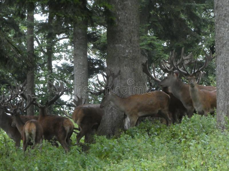 Big deers in the forest with big antler. Animal deer antler big forest nature wild herd trees trunk stock photography