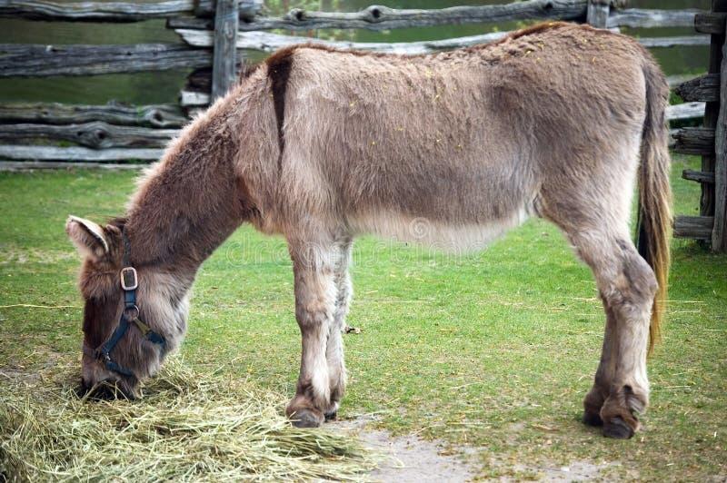 Animal del burro fotografía de archivo libre de regalías