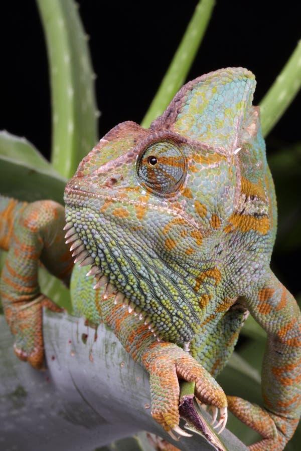 Animal del camaleón  fotografía de archivo