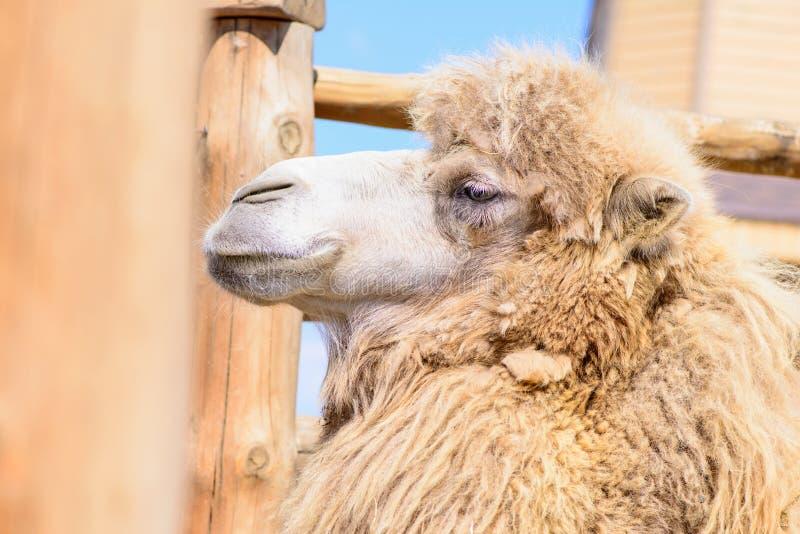 Animal del camello bactriano foto de archivo libre de regalías