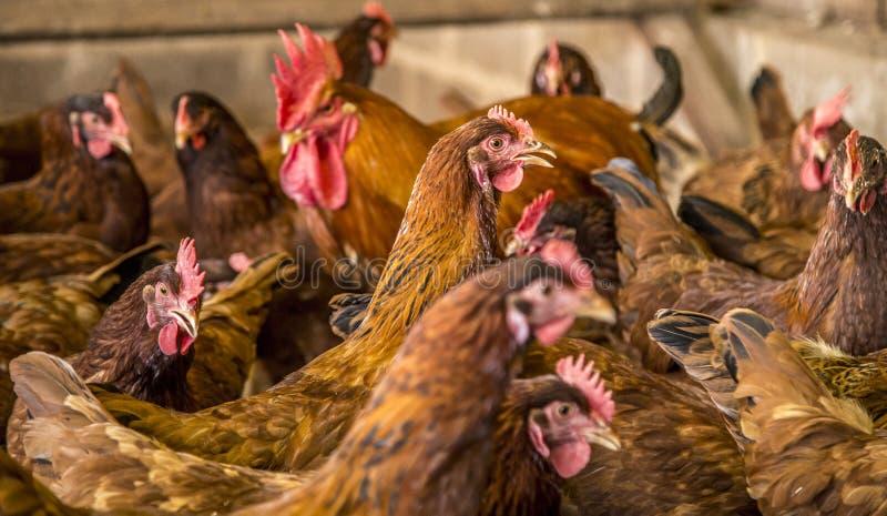 Animal del campo de la creación del pollo fotos de archivo libres de regalías