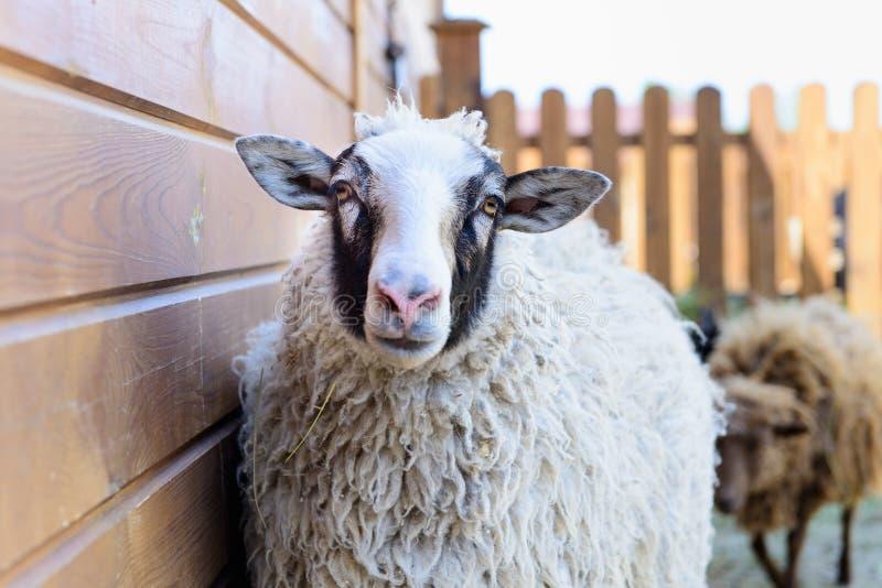 Animal del campo de las ovejas blancas fotografía de archivo