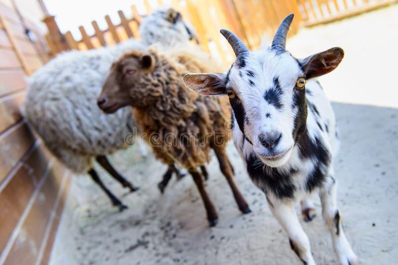 Animal del campo manchado de la cabra foto de archivo