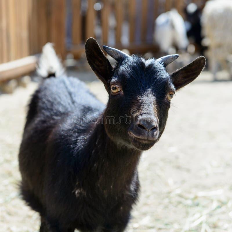 Animal del campo negro de la cabra fotografía de archivo libre de regalías