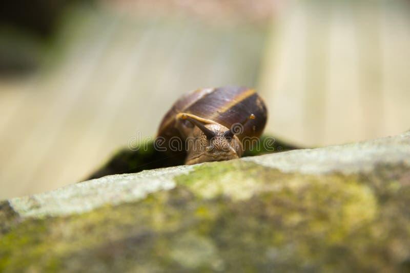 Animal do caracol de lentamente foto de stock