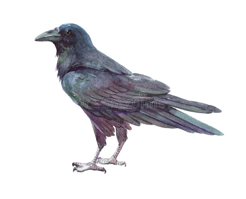 Animal do corvo da aquarela único isolado fotografia de stock royalty free