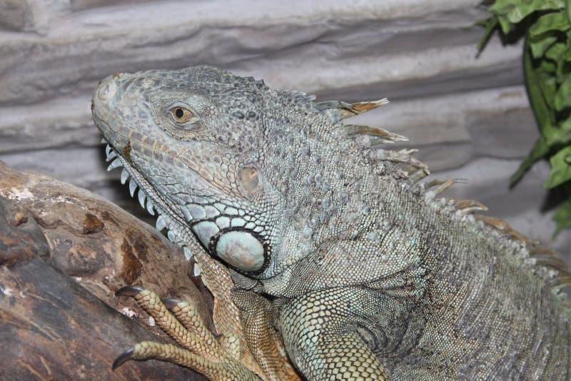 Animal do lagarto de monitor do terrarium do réptil fotografia de stock royalty free