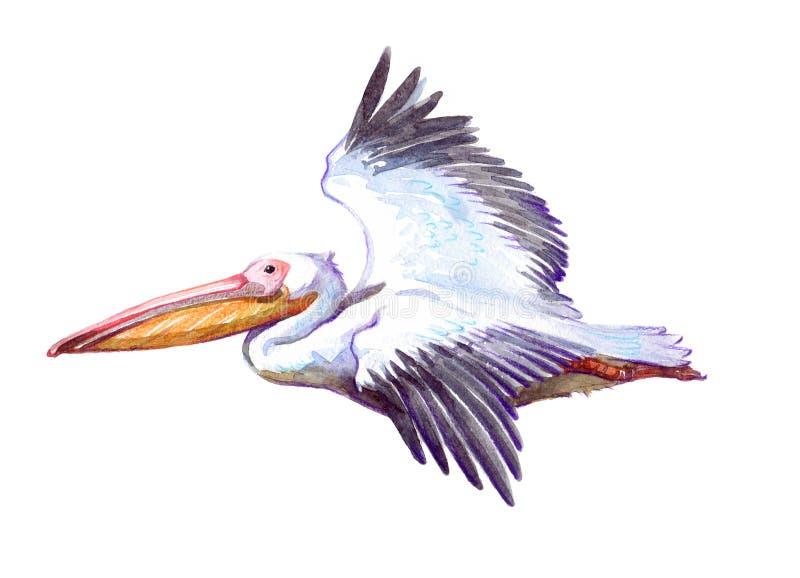 Animal do pelicano da aquarela único isolado ilustração do vetor