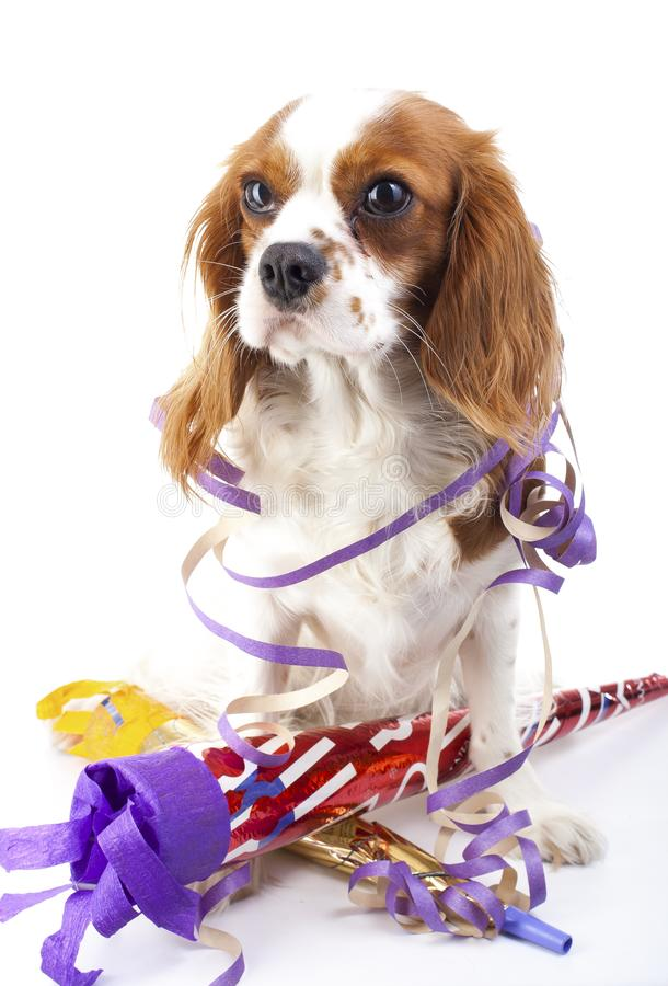Animal dog pet puppy celebrate new year`s eve. Cute king charles spaniel dog in studio. Puppy with trumpet sylvester royalty free stock photography