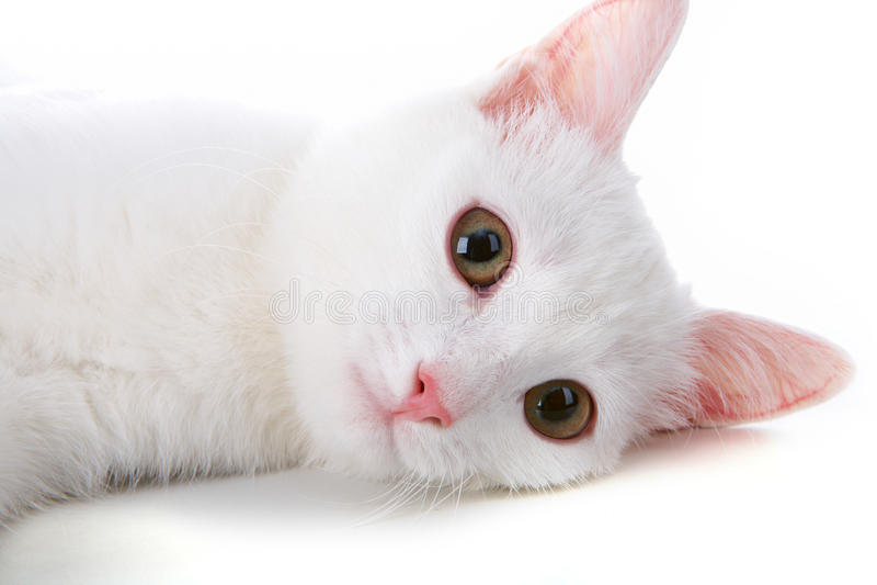 Animal doméstico blanco fotografía de archivo libre de regalías