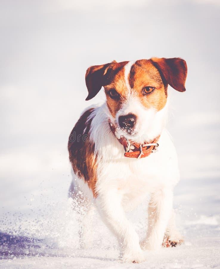 Animal doméstico del perrito de Jack Russell Terrier que corre y que juega en nieve fotos de archivo